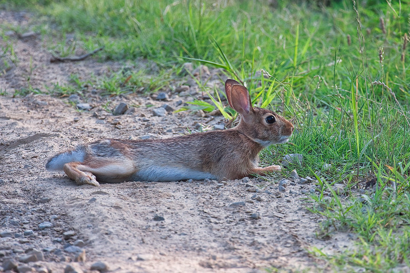 Cottontail Rabbit Relaxing