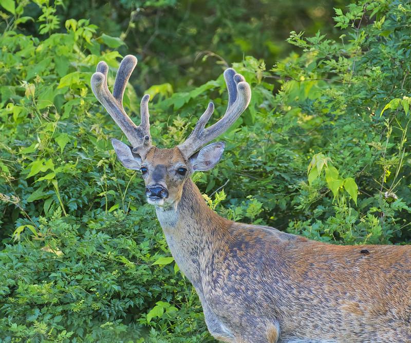 Large 8 Point Buck In Velvet
