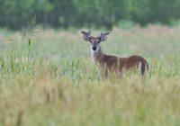 Older Buck In Velvet