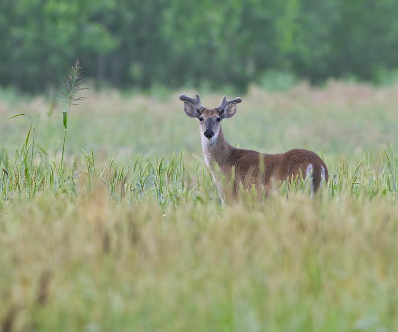 Old Buck In Velvet