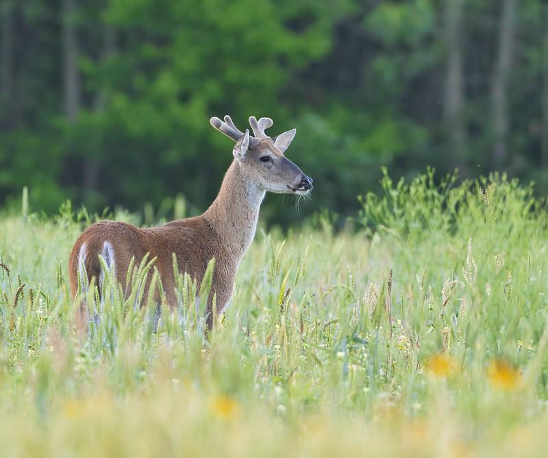Older Whitetail Buck In Velvet 2