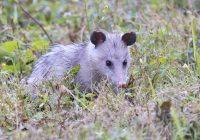 Opossum Searching Through Vegetation