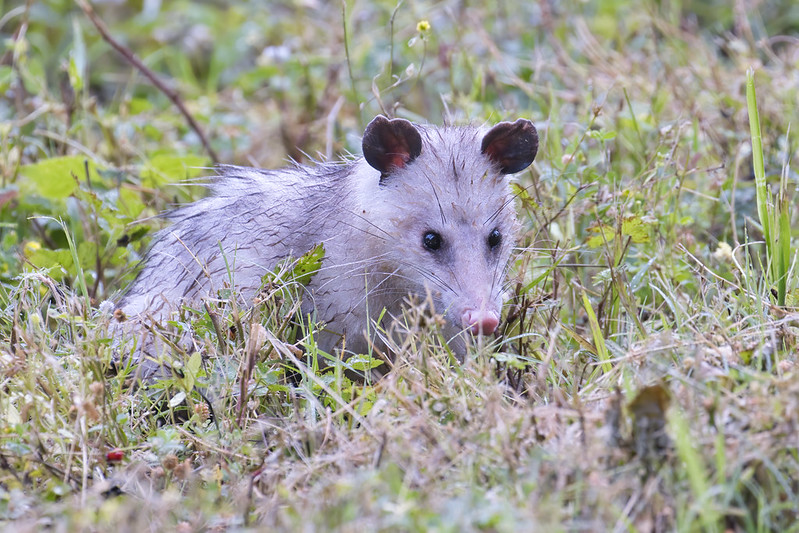 Opossum Searching Through Vegetation