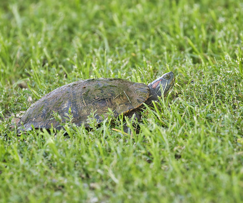 Red-eared Slider Laying Eggs