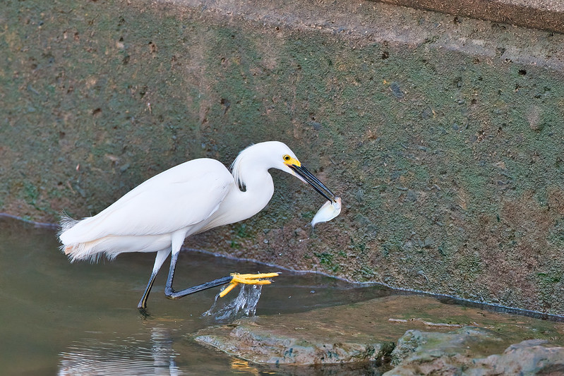Snowy Egret With Shad