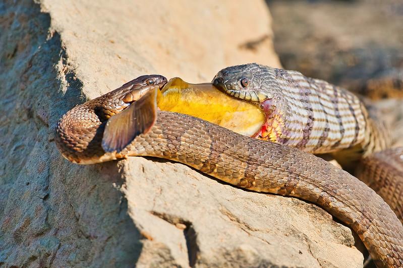 Two Watersnakes Eating Catfish