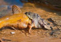 Watersnake Eating Catfish