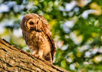 Young Barred Owl With Crawdad