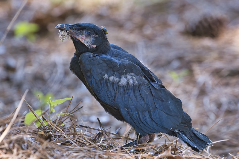 American Crow Fledgling 2