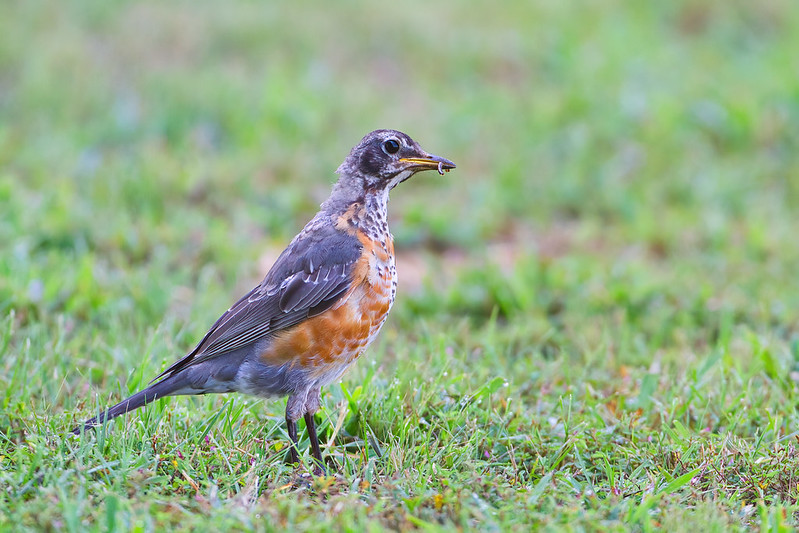American Robin With A Meal