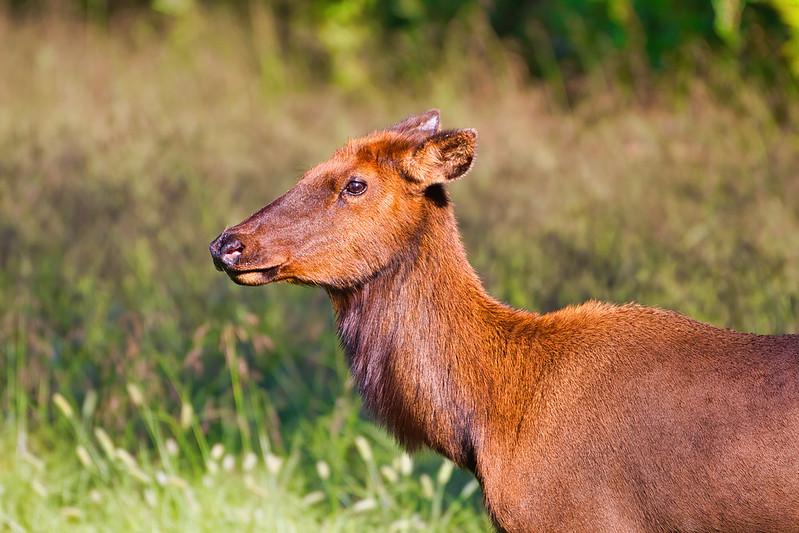 Arkansas Cow Elk