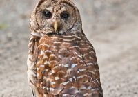 Barred Owl Standing On The Roadway