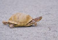 Box Turtle Moving Fast Across Road