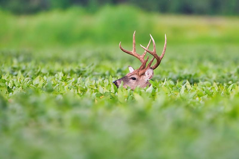 Buck In Soybeans