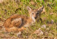 Coyote Pup Taking A Break