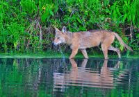 Coyote Wading Slough