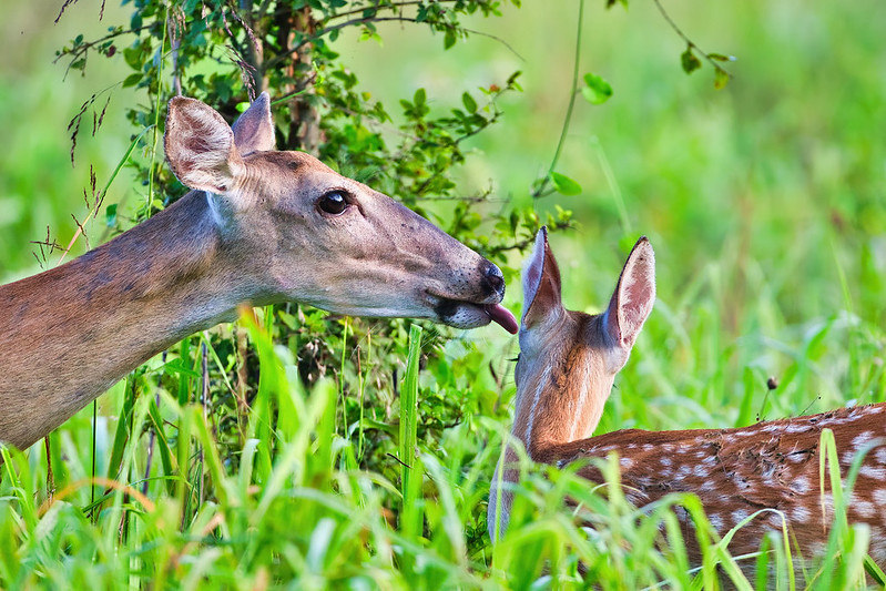 Doe Sticking Tongue In Fawns Ear