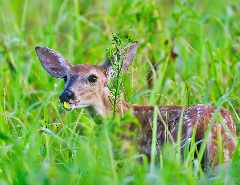 Fawn Kissing Flower