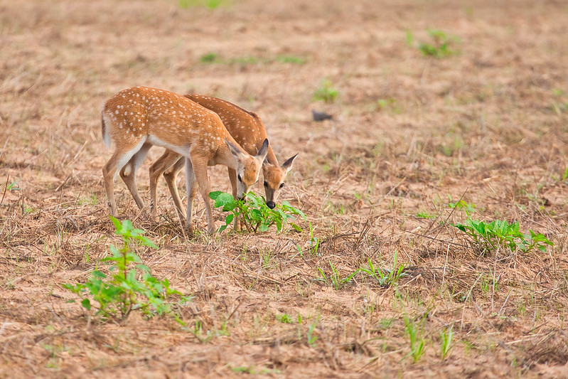 Fawn Twins Sharing A Meal