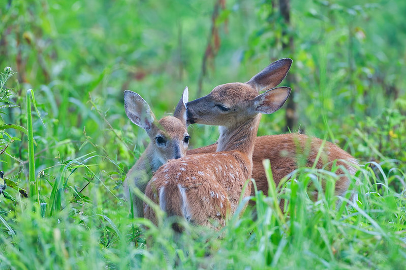 Fawns Grooming Each Other