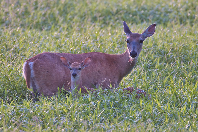 Fawns Growing Fast