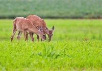 Fawns With Fading Spots