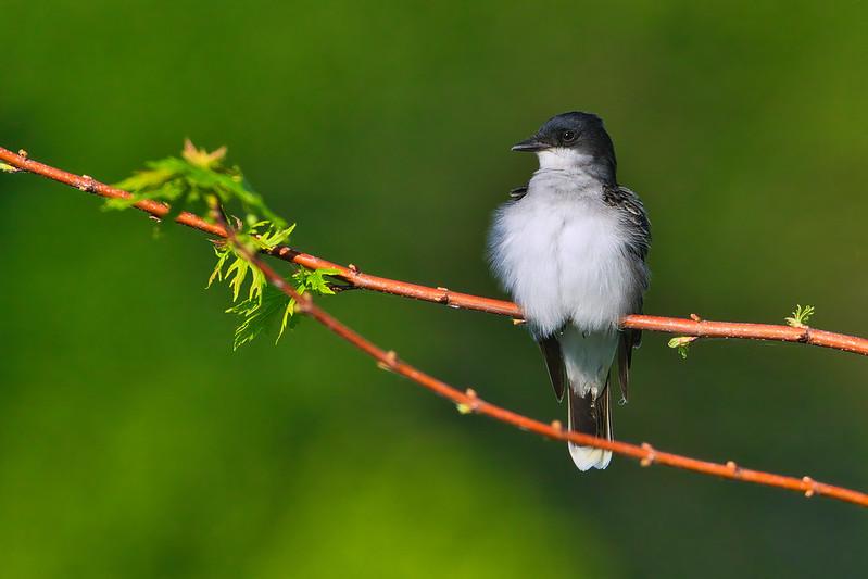 Fluffy Eastern Kingbird