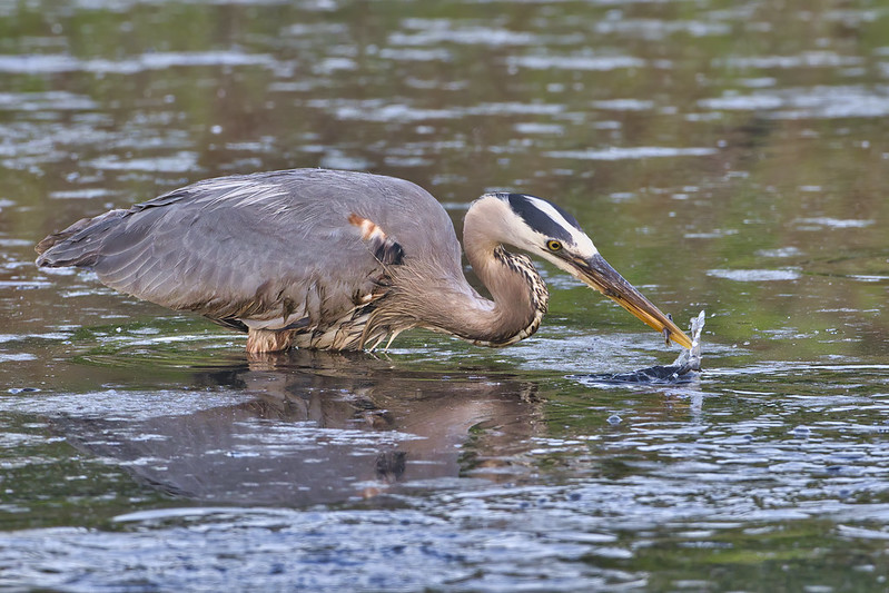 Great Blue Heron Catching Minnow