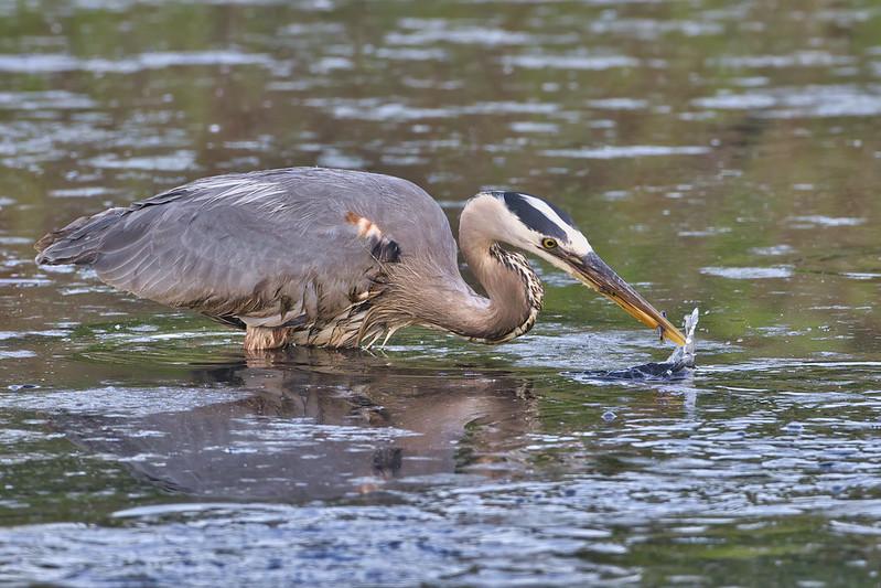 Great Blue Heron Catching Minnow