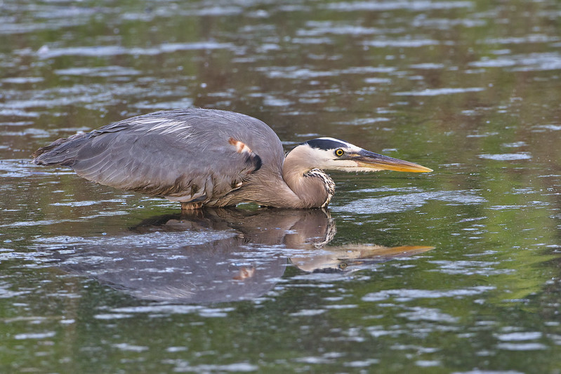 Great Blue Heron Low In The Water