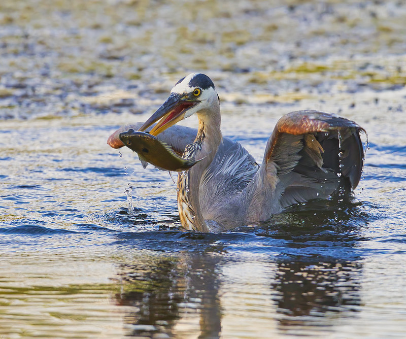 Great Blue Heron Spearing Sunfish