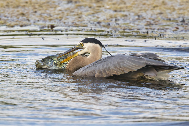 Great Blue Heron Swimming With A Crappie