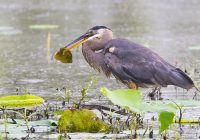 Great Blue Heron With Large Sunfish # 2