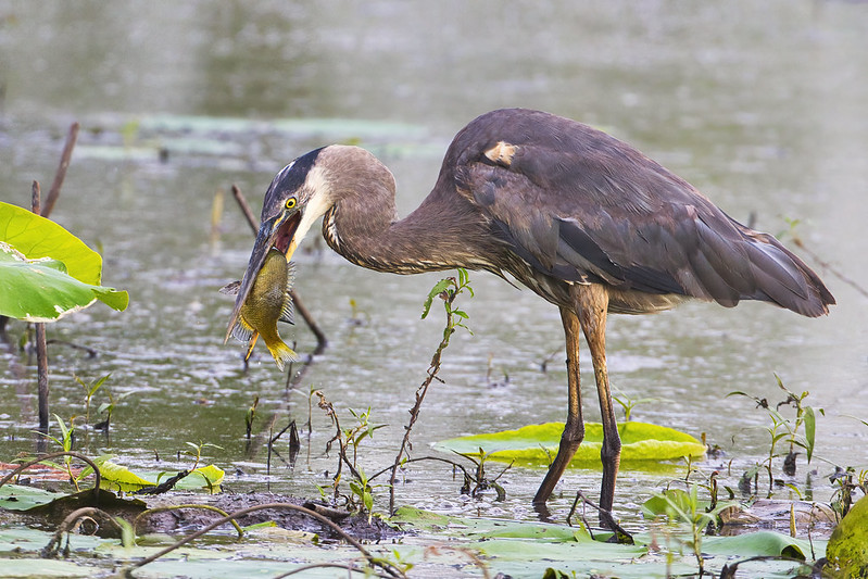 Great Blue Heron With Large Sunfish