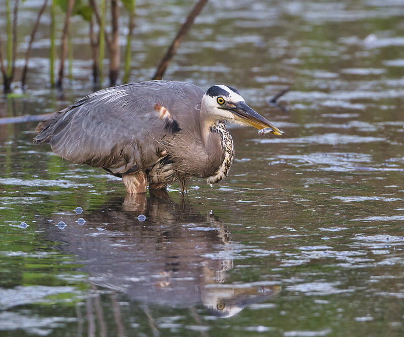 Great Blue Heron With Minnow 2