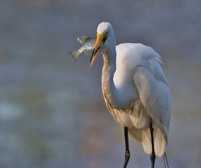 Great Egret Swallowing Crappie