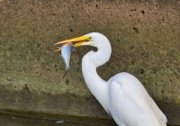 Great Egret With A Large Shad