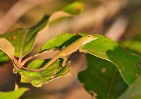 Green Anole Climbing On Leaves