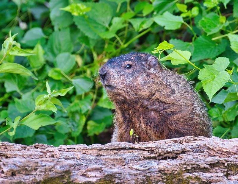 Groundhog On A Log