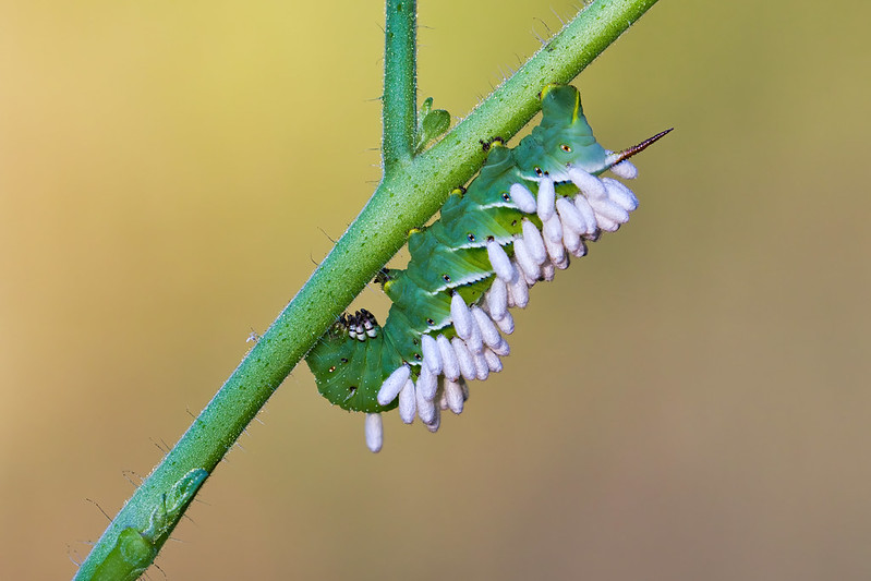 Hornworm With Wasp Eggs
