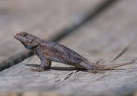 Lizard Growing Tail