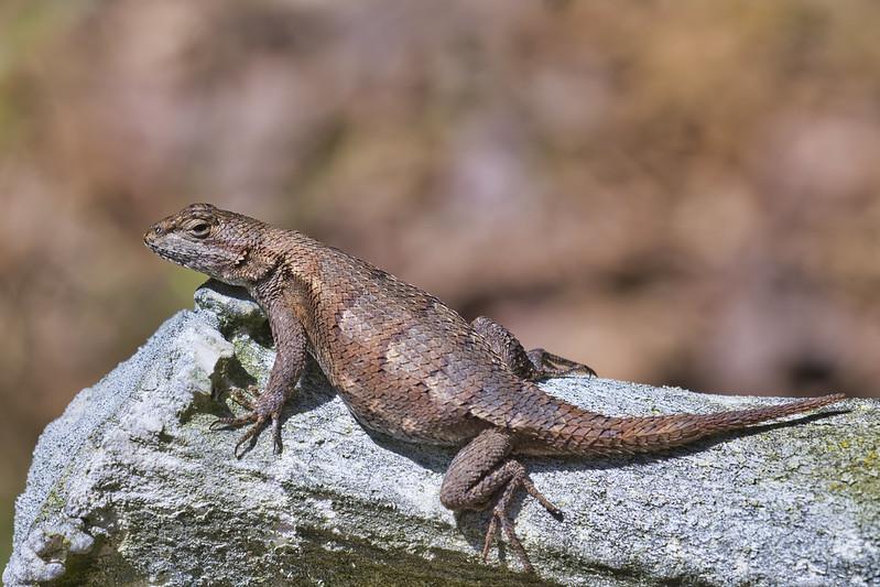 Lizard On Shed Antler