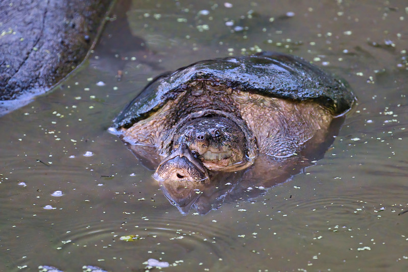Mating Snapping Turtles