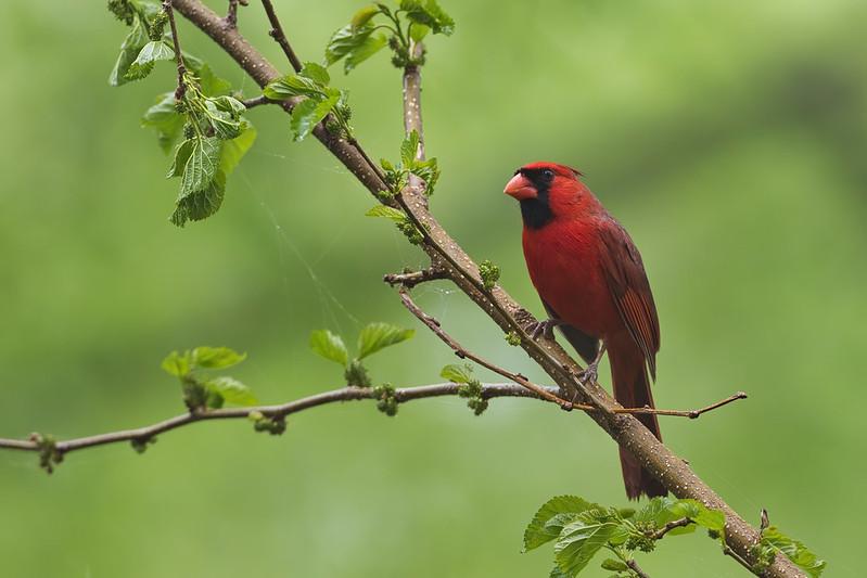 Northern Cardinal On A Foggy Morning