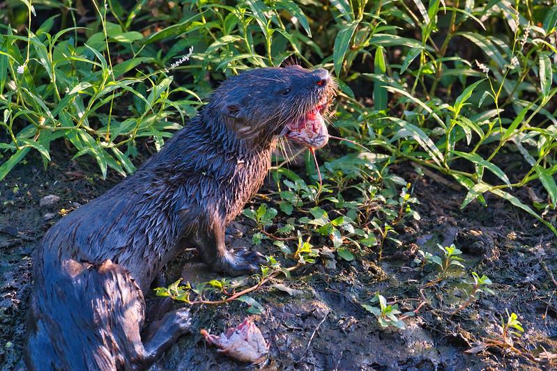 Otter Eating Catfish Head 2
