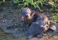 Otter Eating Catfish Head