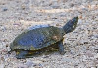 Red-eared Slider Crossing Road