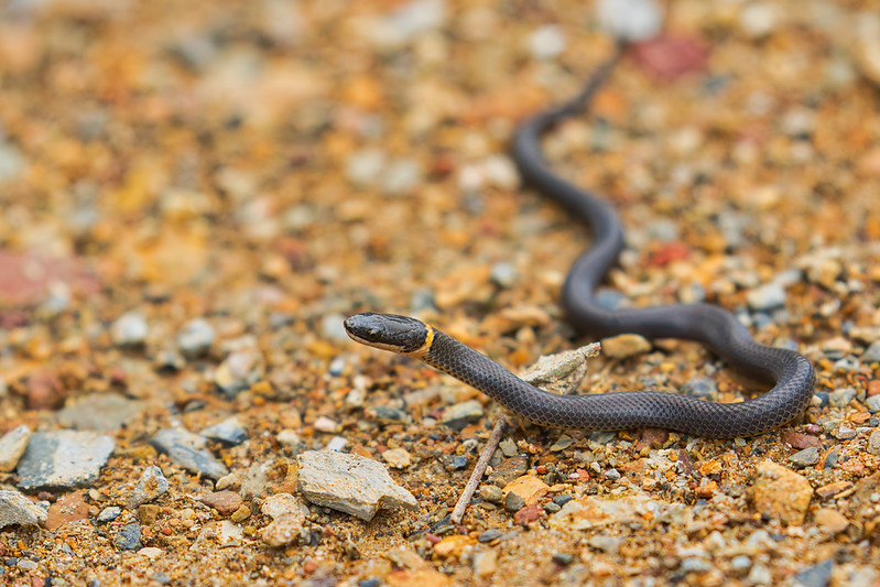 Ring-necked Snake