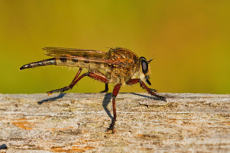 Robber Fly On A Log