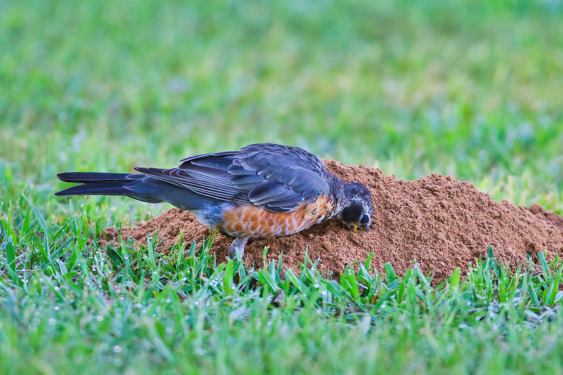 Robin With Beak In Gopher Mound